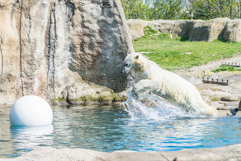 Oso polar que salta en agua imagenes de archivo