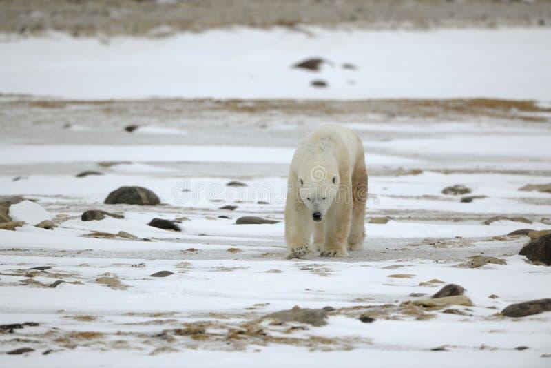 Oso polar que va. fotografía de archivo