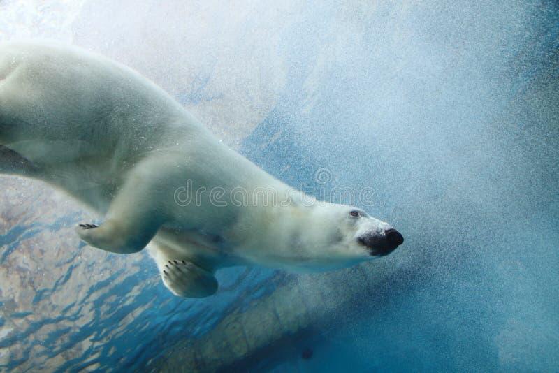 Oso polar subacuático imagen de archivo