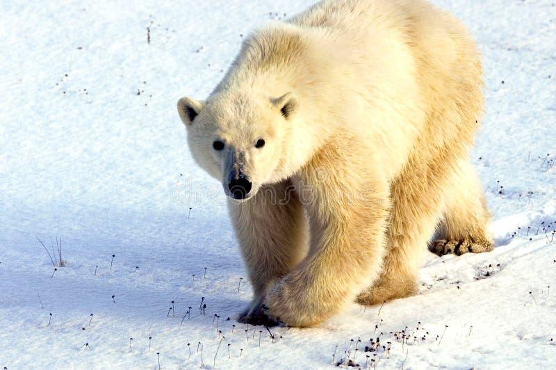 Oso polar vigilante fotos de archivo