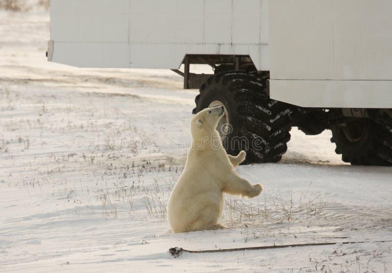 Oso polar y un cochecillo de la tundra imagen de archivo libre de regalías