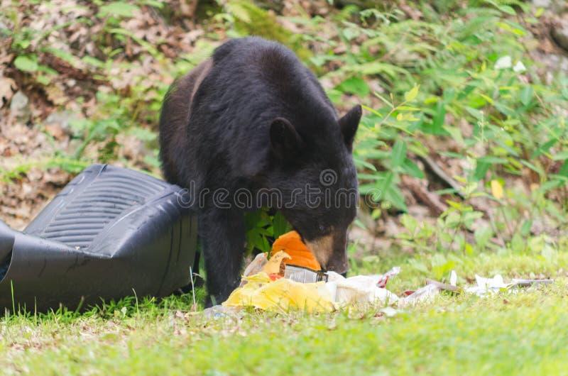 Oso que come basura fotografía de archivo libre de regalías