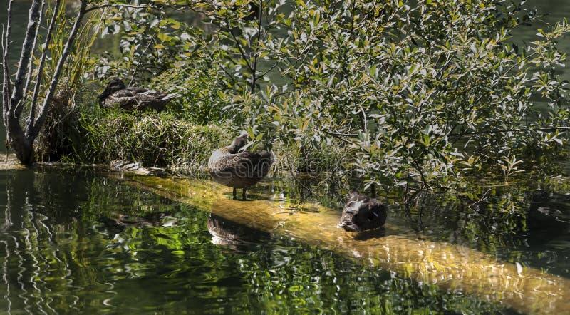 Osobliwy szczegół o sławnym zabójcy jeziorze z dzikiej kaczki fami fotografia royalty free