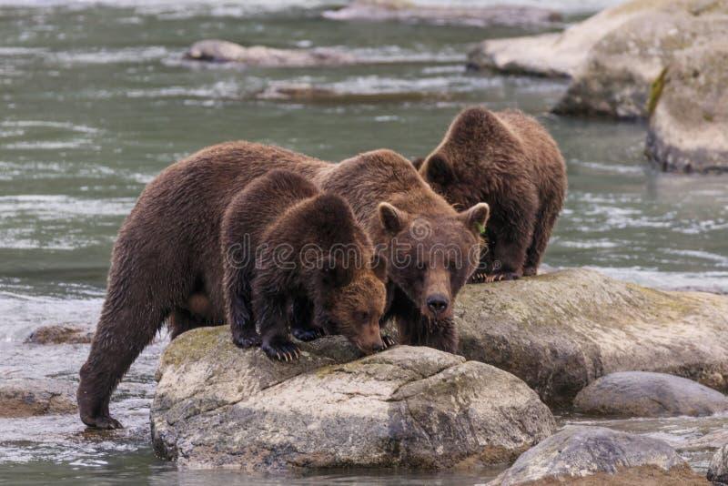 Osos cerca del río de Chilkoot en Haines foto de archivo libre de regalías