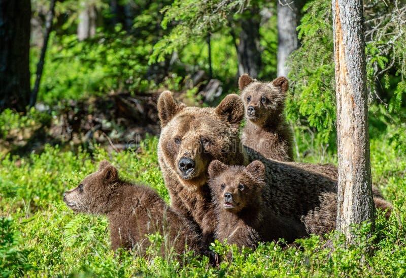 Osos de Brown Ella-oso y oso-cachorros en el fondo natural del bosque del Forest Green del verano fotografía de archivo libre de regalías