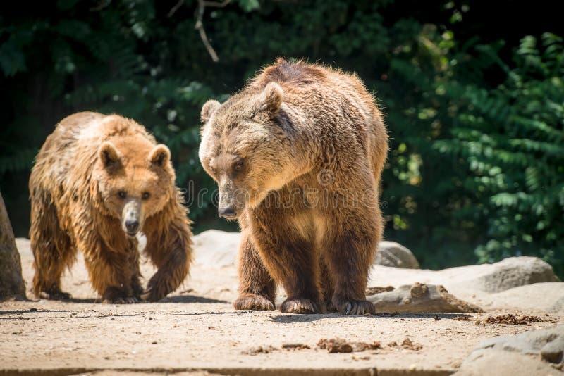Osos de Brown y x28; Arctos& x29 del Ursus; en el parque zoológico de Madrid; España fotografía de archivo libre de regalías