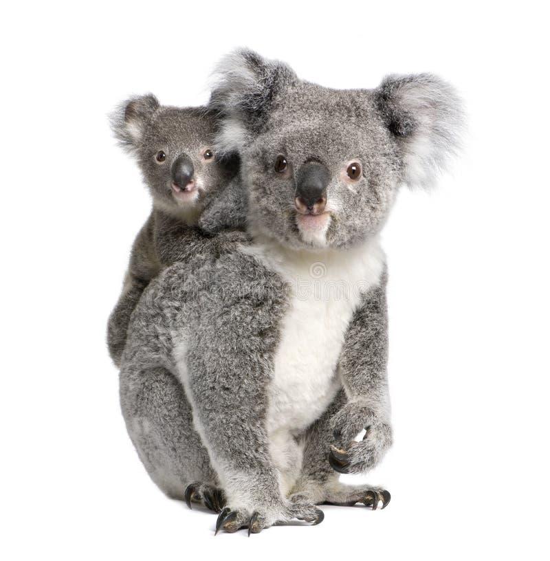Osos de Koala delante de un fondo blanco imagenes de archivo