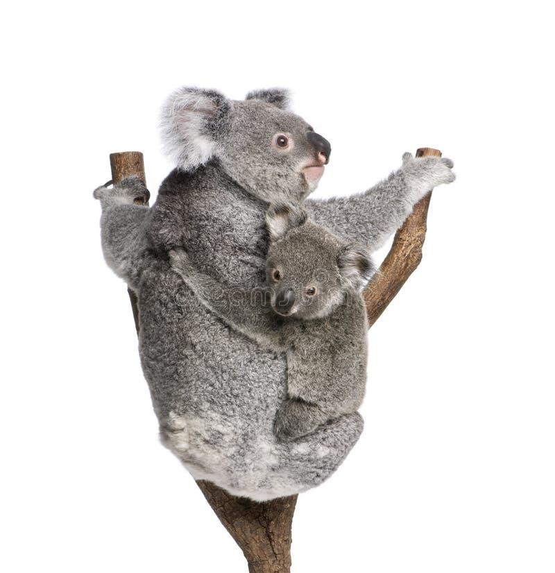 Osos de Koala que suben el árbol contra el fondo blanco fotos de archivo libres de regalías