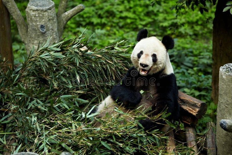 Osos de pandas gigantes foto de archivo