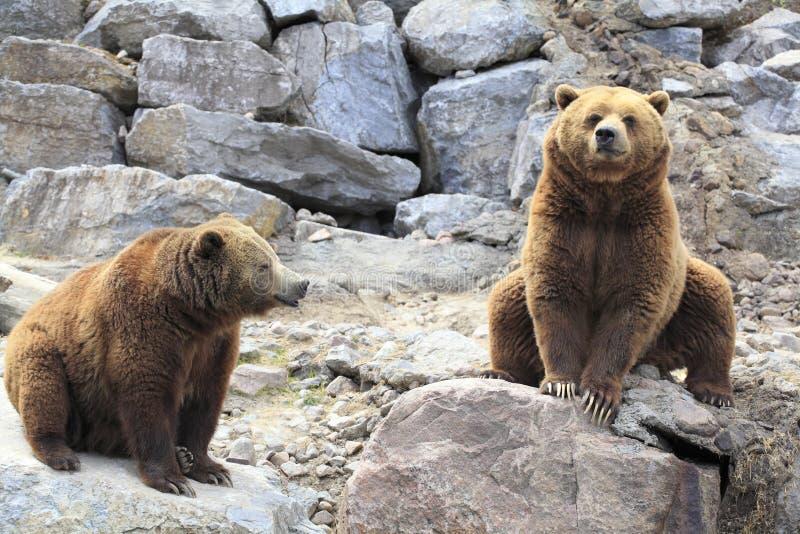 Osos grizzly imagen de archivo libre de regalías