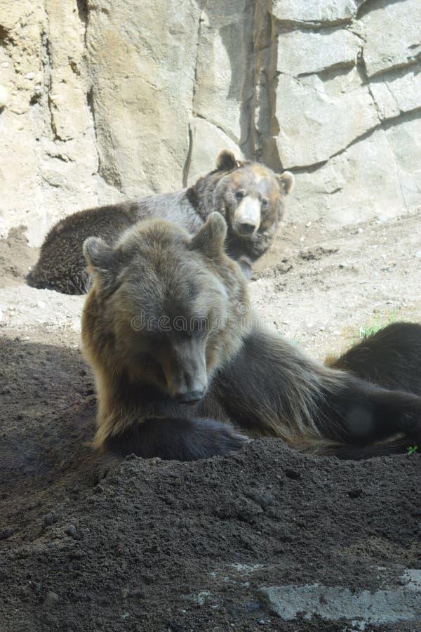 Osos grizzly que se relajan fotografía de archivo libre de regalías