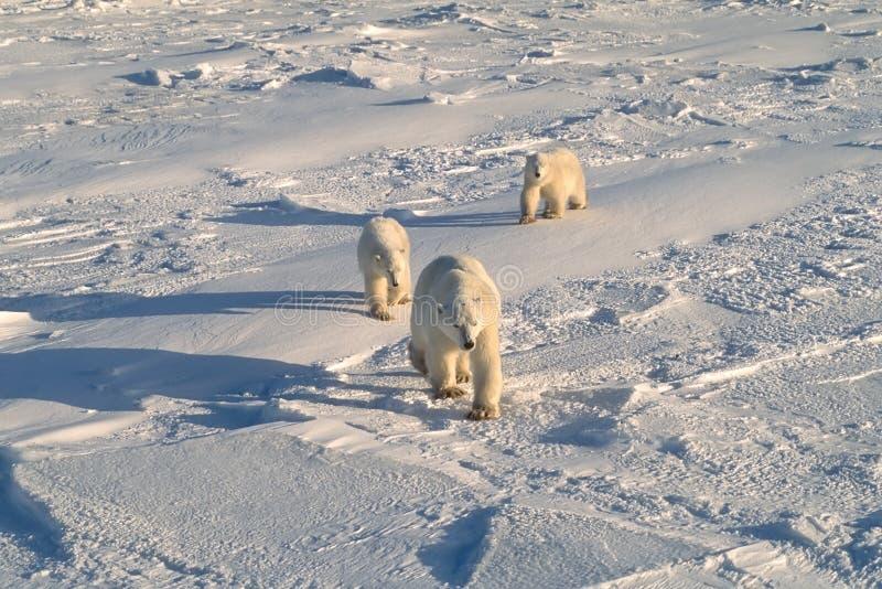 Osos polares fotos de archivo