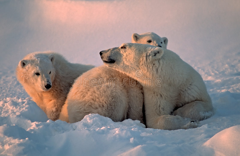 Osos polares foto de archivo libre de regalías