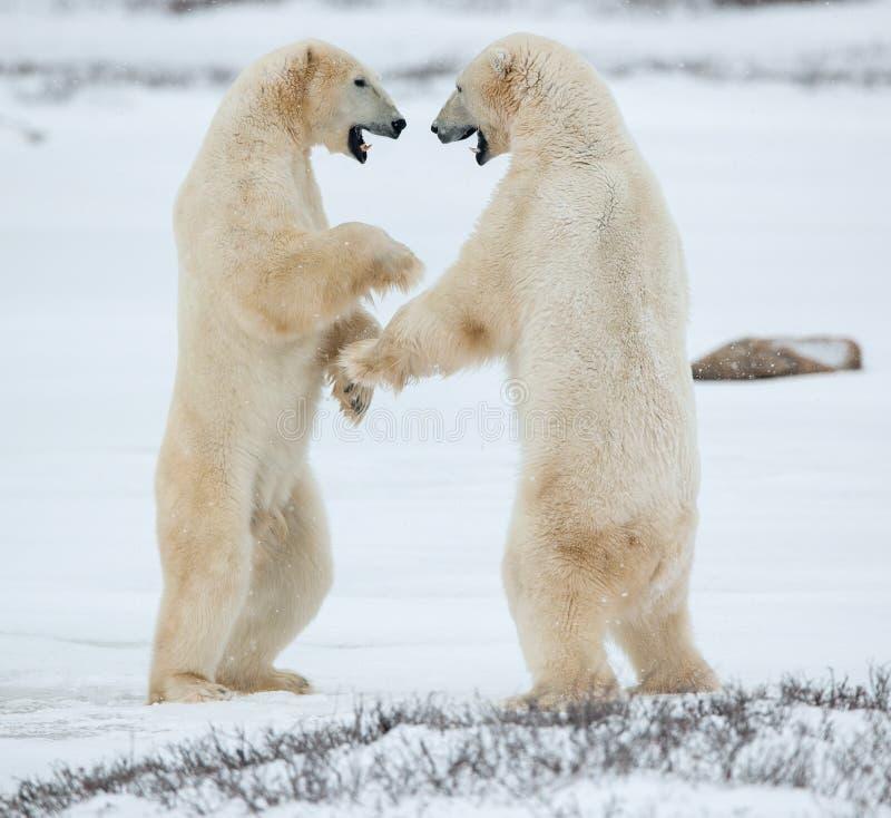 Osos polares escasamente Osos polares que luchan (maritimus del Ursus) en la nieve imagenes de archivo