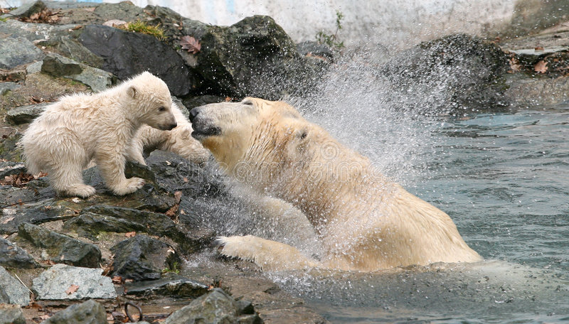 Osos polares recién nacidos imagen de archivo