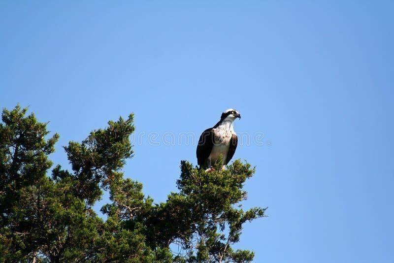 Osprey été perché sur des branchements photographie stock