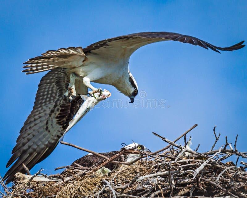 Osprey με τα ψάρια στην τροφή στοκ εικόνα