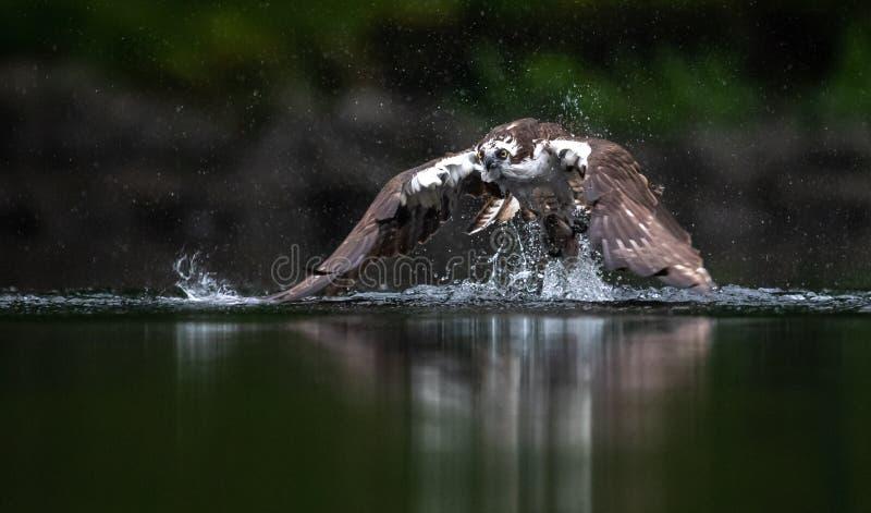 Osprey που αλιεύει στο Μαίην στοκ εικόνες