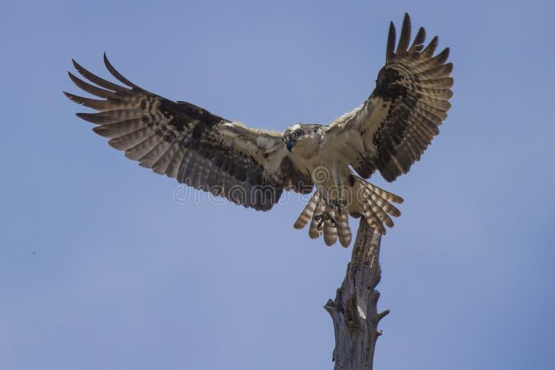 Osprey που αφήνει την εμπλοκή στοκ φωτογραφία