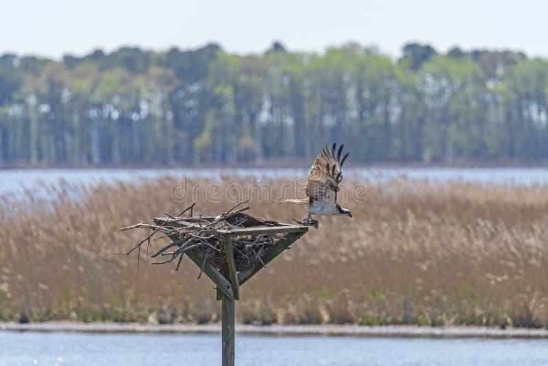 Osprey που αφήνει τη φωλιά στοκ φωτογραφία με δικαίωμα ελεύθερης χρήσης