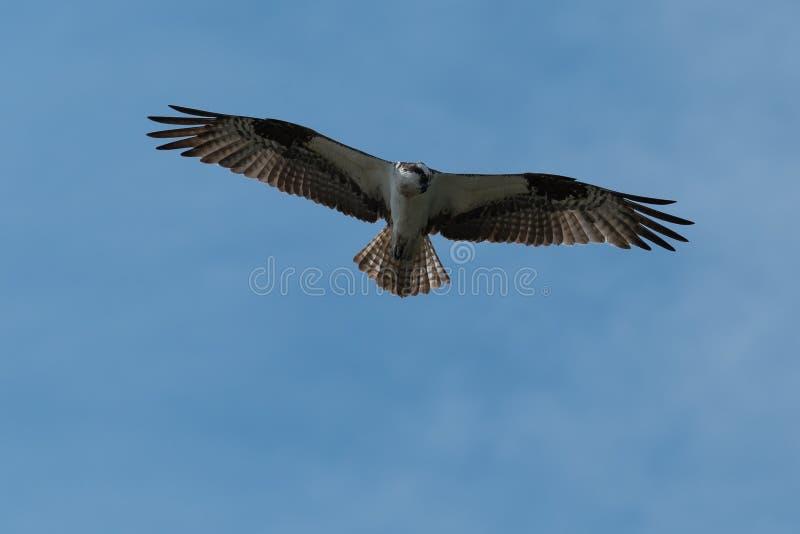 Osprey που πετά στα ύψη κατά την πτήση στοκ εικόνα με δικαίωμα ελεύθερης χρήσης