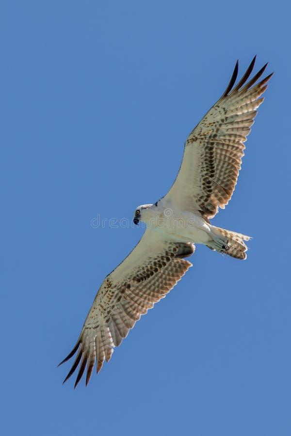 Osprey που πετά στα ύψη σε Tulum στοκ φωτογραφία με δικαίωμα ελεύθερης χρήσης