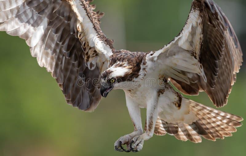 Osprey που πιάνει ένα ψάρι με τα νύχια έξω στοκ εικόνες
