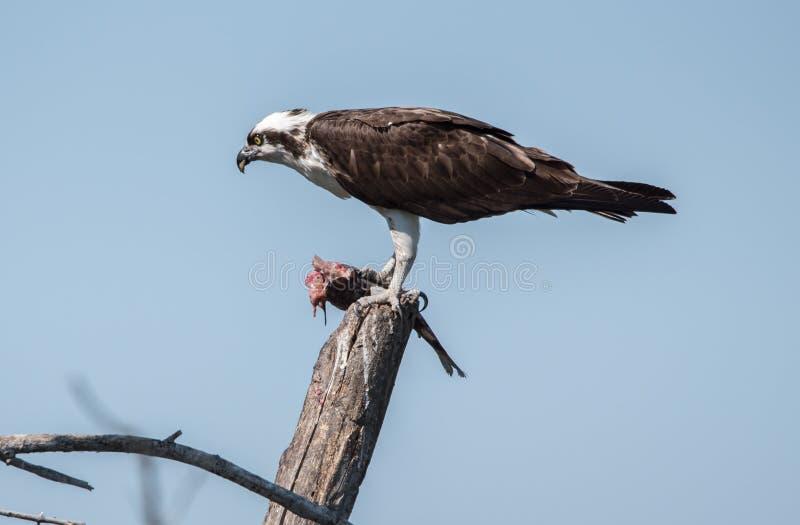 Osprey που τρώει το μεσημεριανό γεύμα του στοκ εικόνες