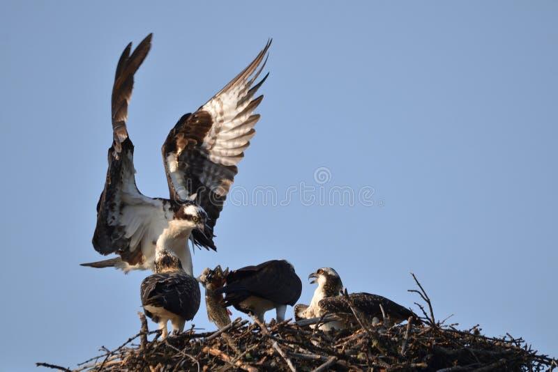 Osprey που φέρνει κατ' οίκον το γεύμα στοκ φωτογραφίες