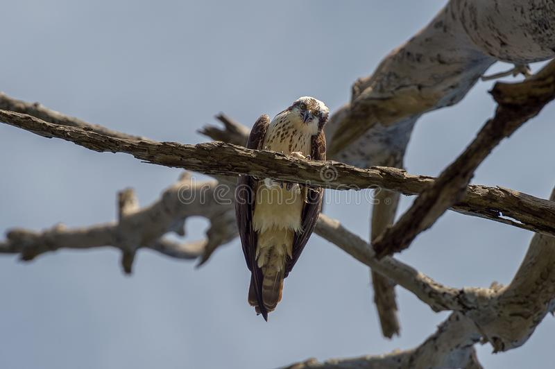 Osprey στον κλάδο που τρώει ένα ψάρι στοκ εικόνα
