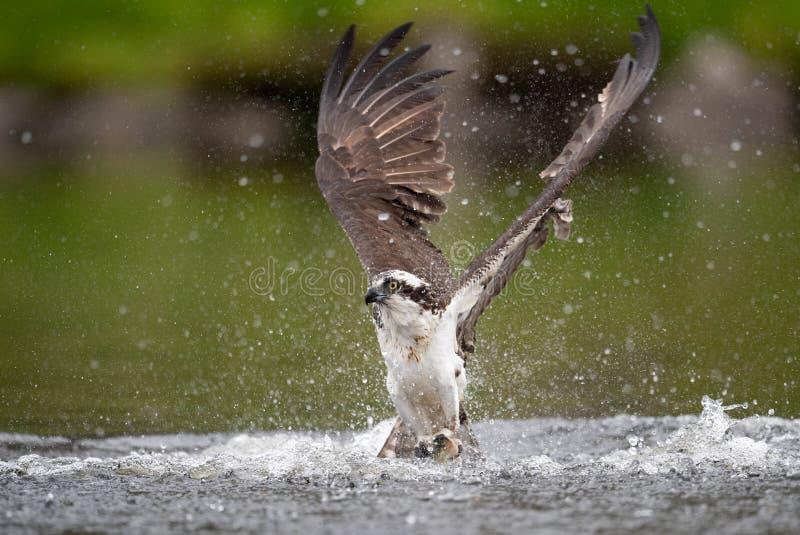 Osprey στο Μαίην στοκ φωτογραφία με δικαίωμα ελεύθερης χρήσης