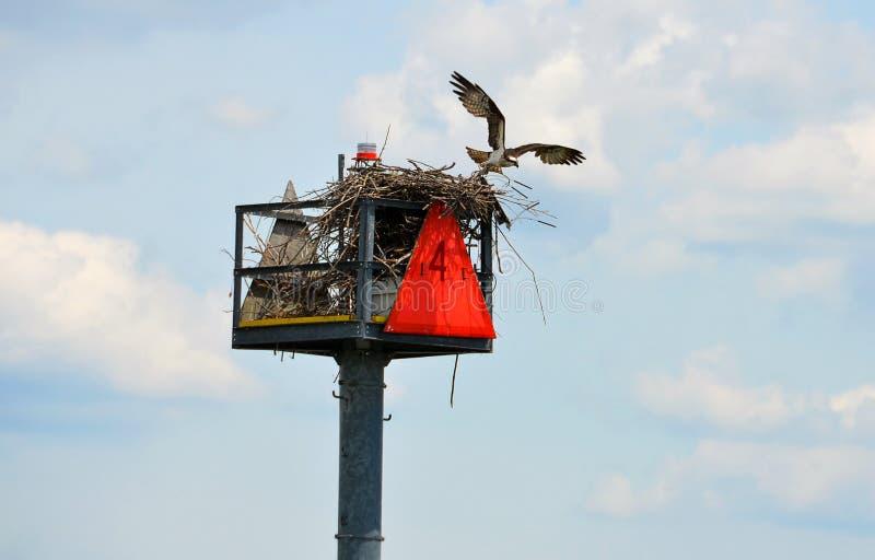 osprey гнездя стоковая фотография