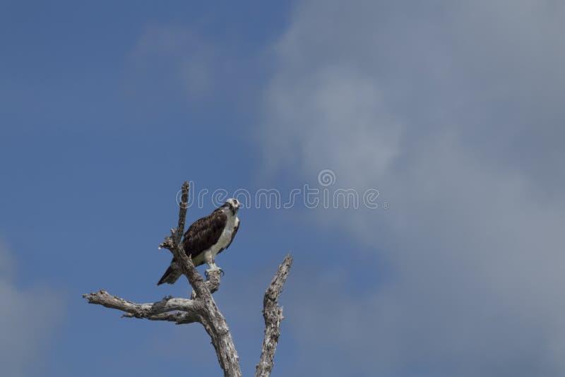 osprey садился на насест вал стоковое изображение rf