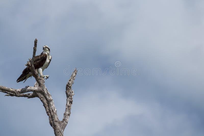 osprey садился на насест вал стоковое изображение