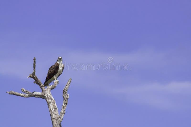 osprey садился на насест вал стоковые изображения rf