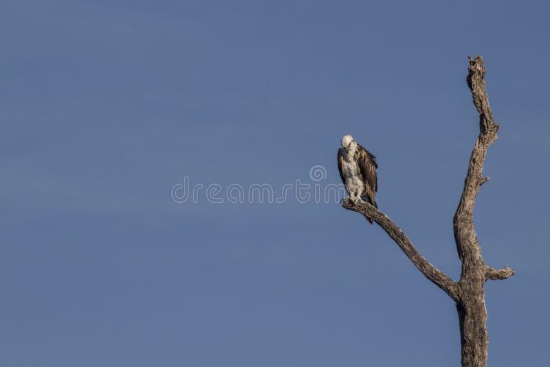 osprey садился на насест вал стоковая фотография rf