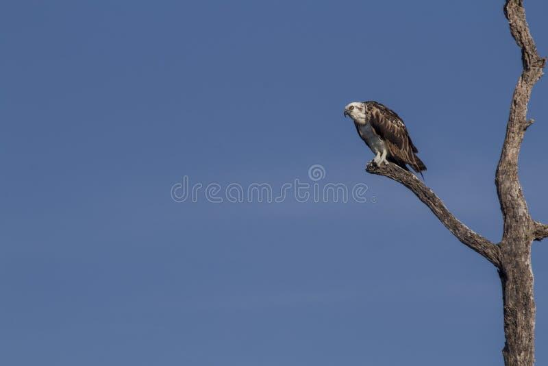 osprey садился на насест вал стоковые фотографии rf