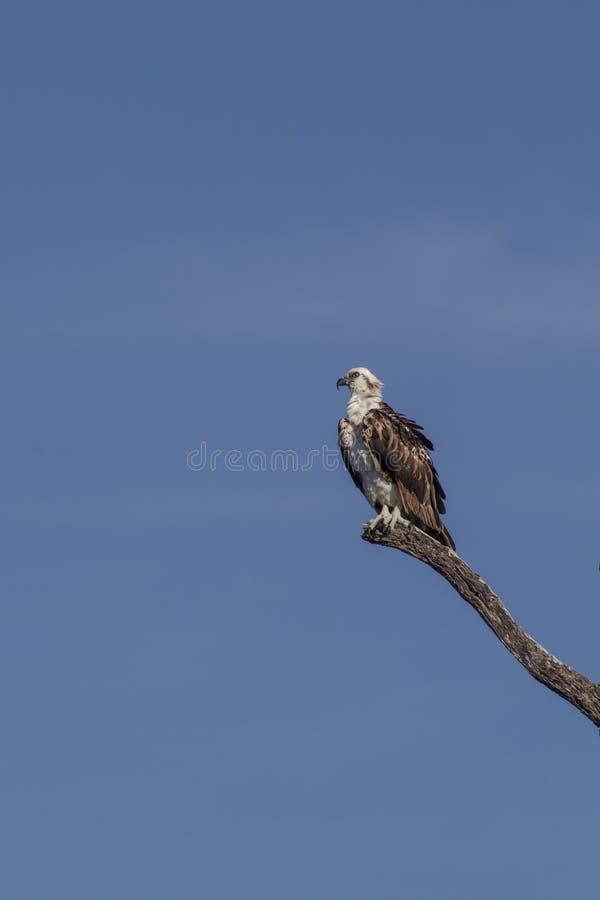 osprey садился на насест вал стоковое фото rf