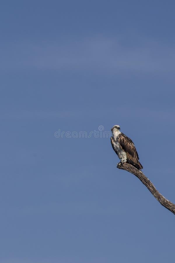 osprey садился на насест вал стоковые фото