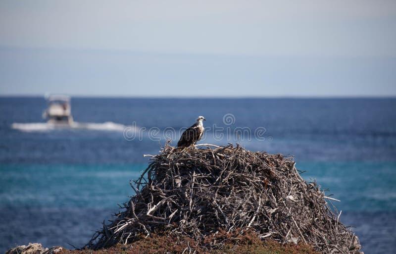 osprey foto de archivo libre de regalías