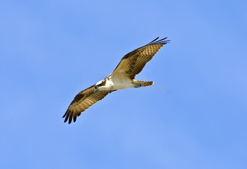 Osprey photo stock