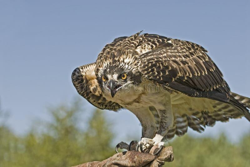 Download Osprey stock photo. Image of nature, raptor, animal, anger - 11557314