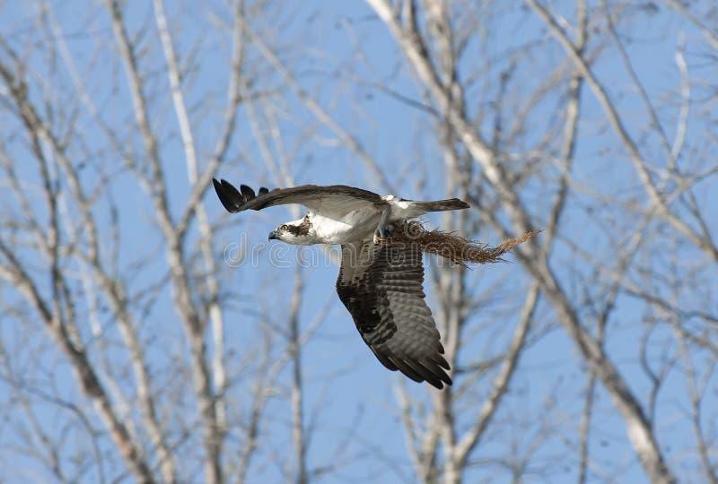 Osprey fotografia de stock