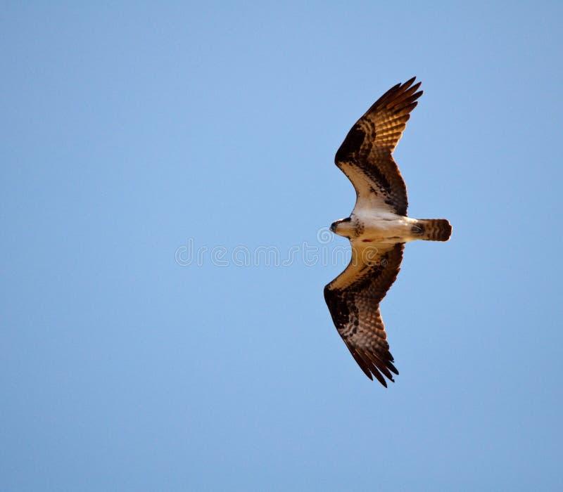 Osprey photographie stock libre de droits