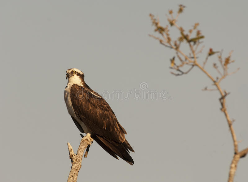 Download Osprey stock photo. Image of birds, aves, wildlife, fish - 15968882