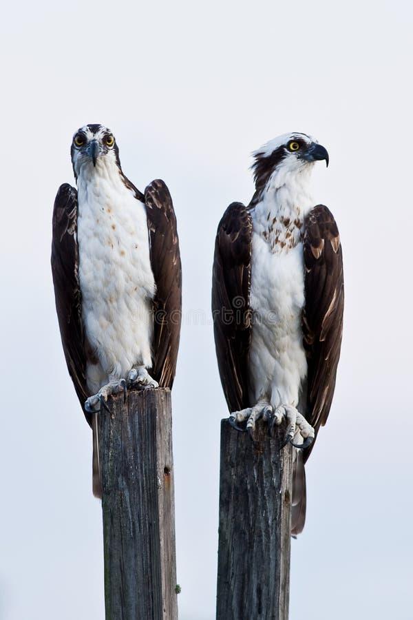 Osprey immagine stock libera da diritti