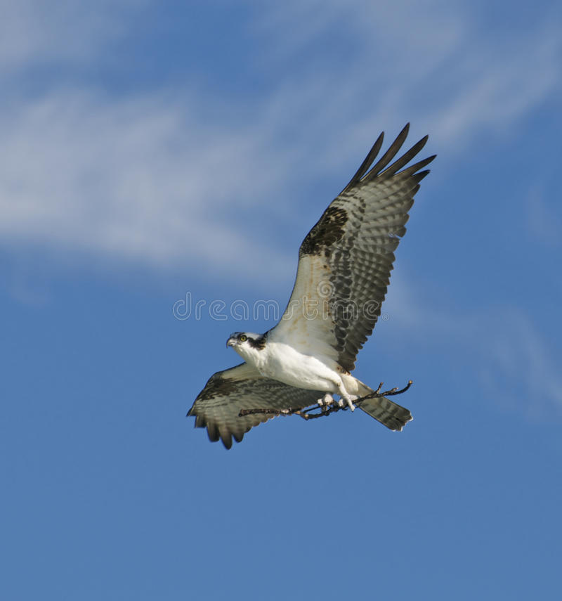 Download Osprey Stock Photos - Image: 18420083