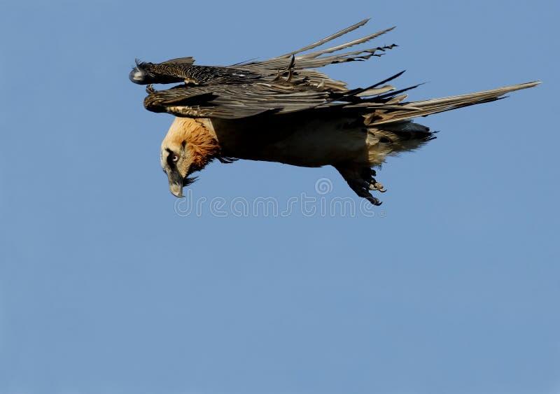 Download Osprey stock image. Image of spain, bird, wildlife, vultures - 18637909