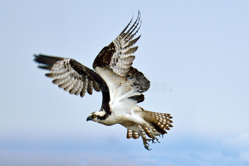 Osprey foto de archivo