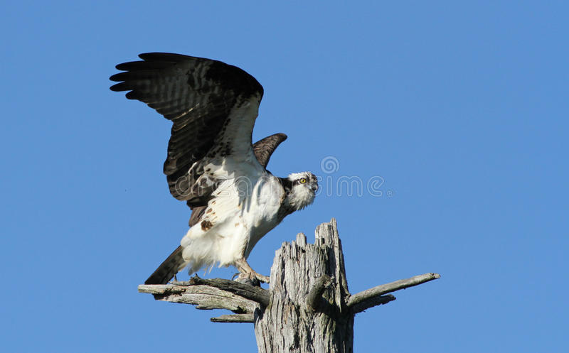 Download Osprey stock image. Image of feathers, adult, prey, canada - 20321921